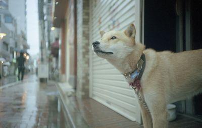 空を見上げる犬1