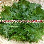 効果的に免疫力アップをしてくれる夏が旬な緑の野菜とは青じそ?