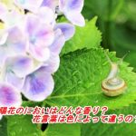 紫陽花のにおいはどんな香り?花言葉は色によって違うの?