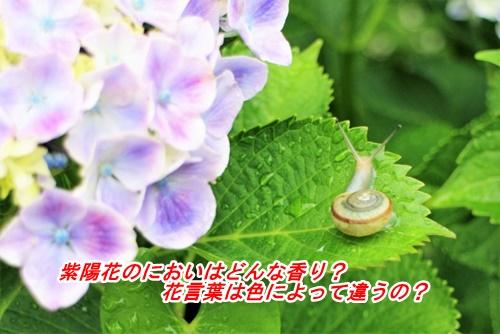 カタツムリと紫陽花1